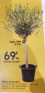 Olivier en pot de 50l - Hauteur 1.80 à 2m