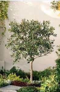 Séléction d'oliviers en promo - Ex : Olivier tige de 150 cm de hauteur