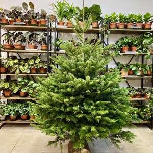 Sapins de Noël 100% remboursés en bon d'achat - Ex: Sapin Nordmann 150/200cm (via 29,95€ en bon d'achat) - Jardinerie Kowalczyk Senlis (60)