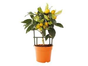 Agrumes en pot - Citronnier, Calamondin ou Kumquat