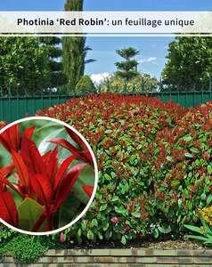 3 Photinias Red Robin - Haie de 2,5 m linéaire