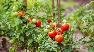 Distribution gratuite de Pieds de Tomate, Plantes Aromatiques et sachets de Graines - Serres Municipales Villeneuve-Saint-Georges (94)
