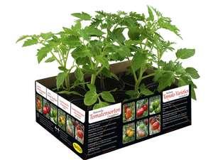 Barquette de 6 plants de tomates anciennes - Hauteur 17cm