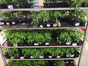 Barquette de 6 plants de tomates anciennes ou cerises