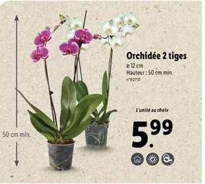 Orchidée 2 tiges - 50 cm