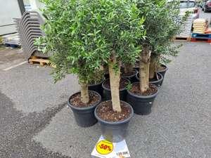 50% de remise sur toutes plantes (Chapiteau) - Ex : gros olivier (Mareuil 77)