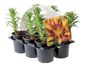 Lot de 6 plants de Lys Asiatique - 14 cm