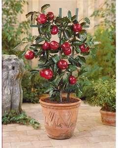 Plante mini-pommier Braeburn - hauteur 40-70 cm (15€ de commande min.)