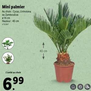 Mini Palmier - Variétés au choix, 40 cm