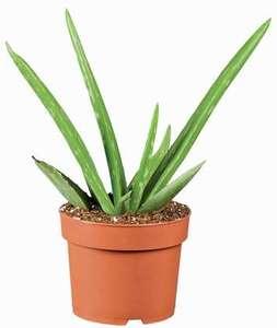 Plante Aloe Vera - Hauteur 26 cm