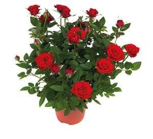 Lot de 2 rosiers en pot (rouge ou rose) soit 1.43 € le rosier - Hauteur 18-22 cm