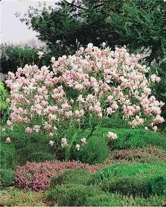 Magnolia de Soulange - Pot de 2L