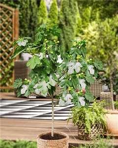Figuier (Ficus Carica) - Pot de 3L, Tige 70 cm. Hauteur 90cm