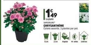 Plante Gaardenline chrysanthème en pot - Diamètre de pot 12cm, hauteur de plante 23cm