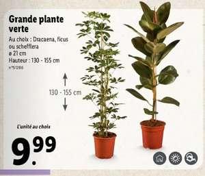 Grande plante verte - 130-155 cm, différentes variétés