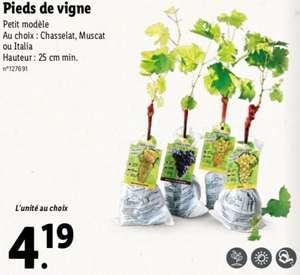 Pieds de Vigne - Petit Modèle, au choix : Chasselat, Muscat ou Italia, hauteur : 25 cm min.