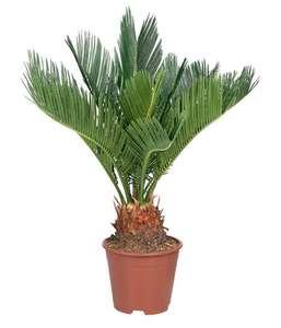 Mini palmier - 40 cm