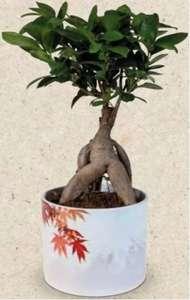 Bonsaï Ficus Ginseng en pot en céramique Japan