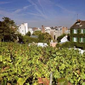 Visite gratuite de la Vigne du Clos Montmartre - Paris 18ème (75)