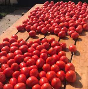 Distribution gratuite de Tomates bio en libre service - Hourtin (39)