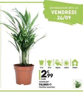 Palmier (Variétés au choix) - 40cm