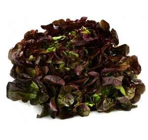 Le lot de 2 salades de feuille de chêne rouge, laitue verte ou batavia