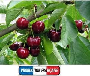 Sélection d'Arbres Fruitiers en motte ou de fruitiers grimpants (production française) - Ex: Cerisiers