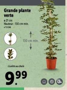 Grande plante verte - 130 cm minimum (plusieurs variétés)