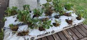 Sac de 10 plants de fraisiers - Les Jardins de Kerlann, Ambon (56)