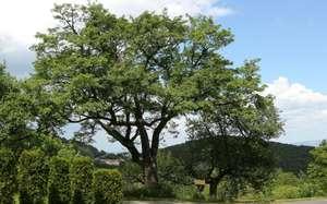 Distribution Gratuite d'Arbre (Le Cormier) ou 3 Arbustes (Noisetier, Cornouiller Blanc, Merisier) - Parc National Régional de Brière (44)