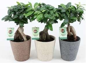 Bonsaï Ficus Ginseng en pot céramique - Hauteur 30-35 cm