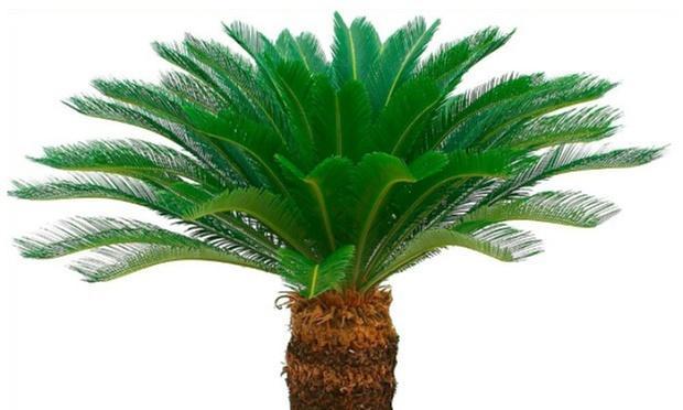 2 Palmiers Cycad King Sago - 50/60cm