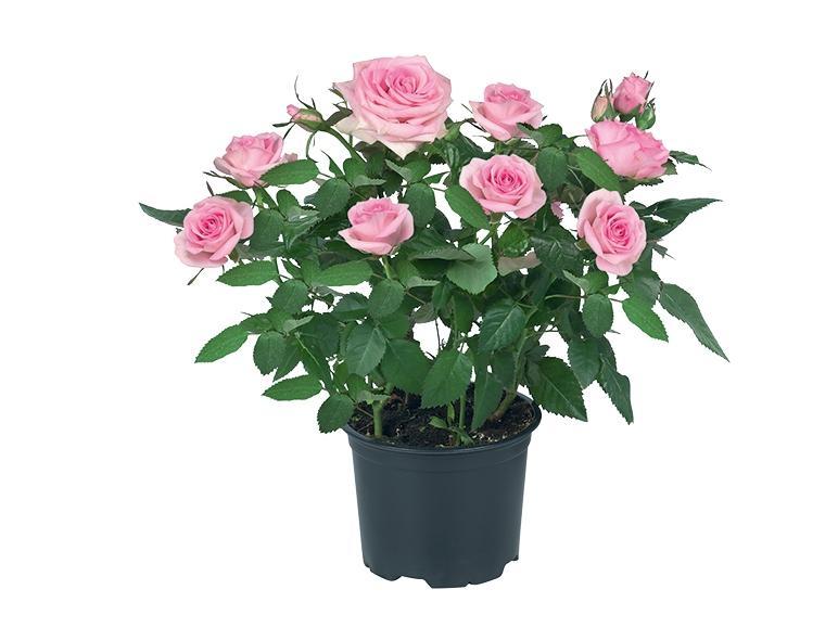 Mini-rosier (30 cm minimum) - couleur au choix