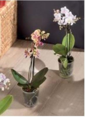Orchidée Phalaenopsis à 2 tiges (Coloris au choix) - 35 / 45 cm