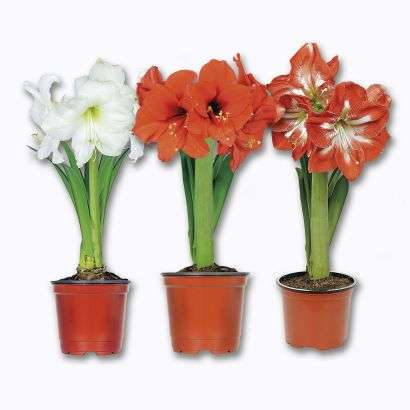 Amaryllis en pot coloris au choix for Amaryllis plantation en pot