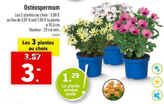 lot de 3 plantes ost ospermum en pot hauteur 33cm. Black Bedroom Furniture Sets. Home Design Ideas