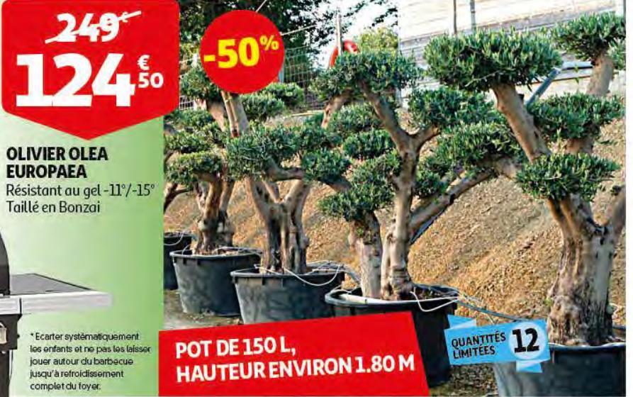 arbre olivier taill en bonsa hauteur 180 cm pot de 150 l avignon 84. Black Bedroom Furniture Sets. Home Design Ideas