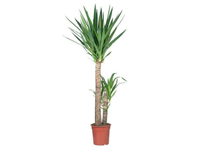 s lection de grandes plantes d 39 int rieur ex yucca. Black Bedroom Furniture Sets. Home Design Ideas