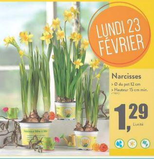 Narcisses en pot