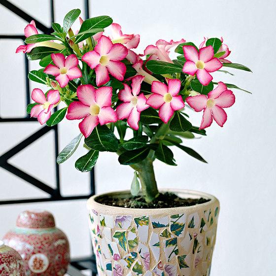Plante rose du désert (frais de port inclus)