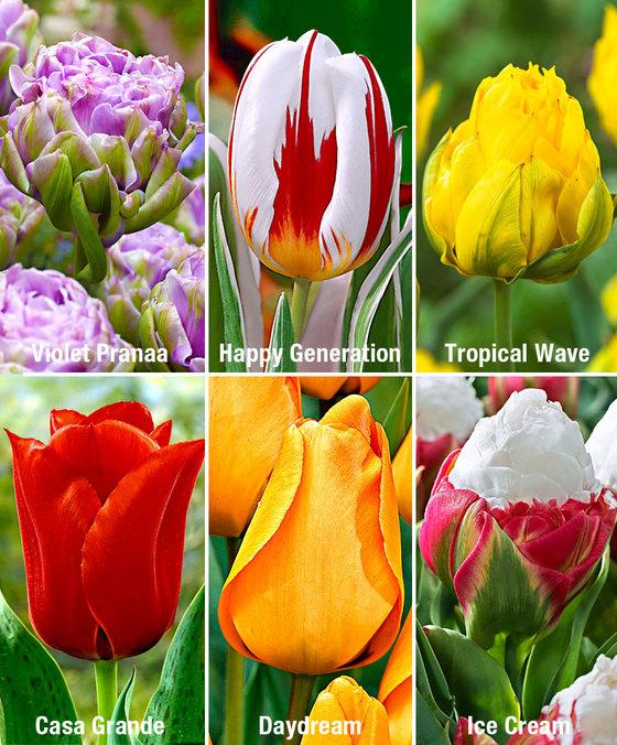 Paquet de 70 Bulbes de Tulipes - 6 variétés