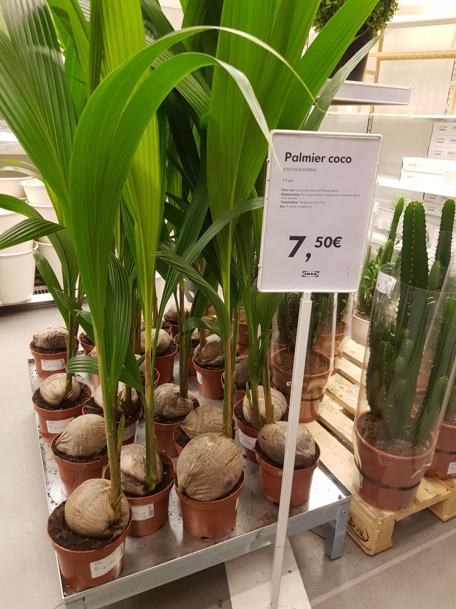 Palmier Coco (Cocos Nucifera)