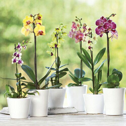 Orchidee Phalaenopsis - 1 tige
