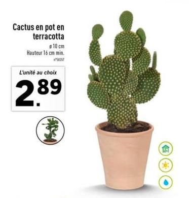 Cactus en pot en terracota