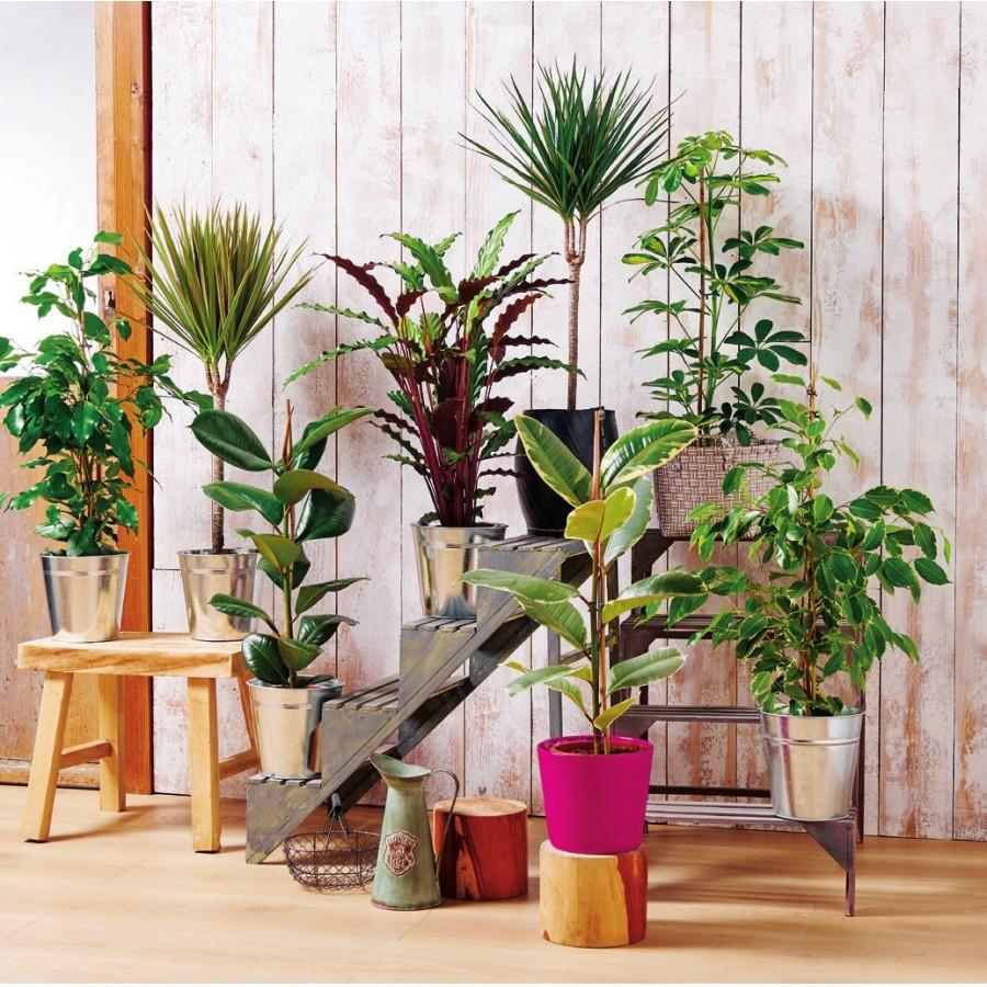 Plantes Vertes hauteur 80/85 cm