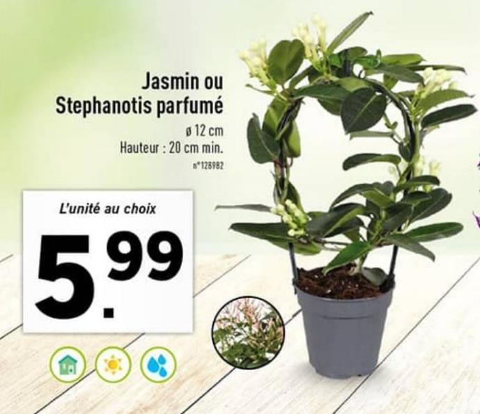 Plante Jasmin ou Stephanotis parfumé - hauteur 20 cm min.