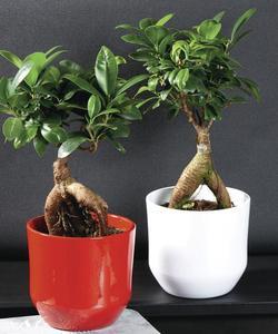 Plante Ficus Ginseng avec pot céramique