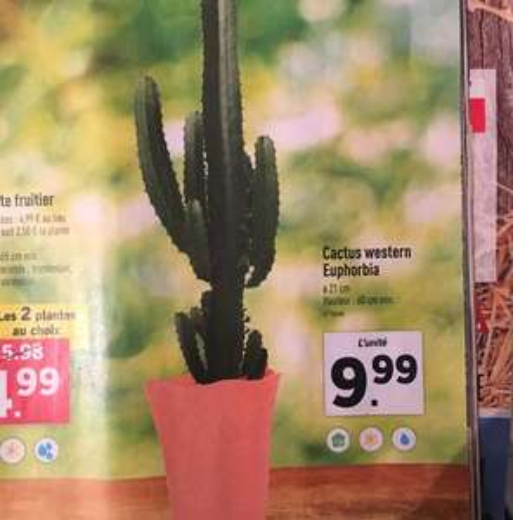 Plante cactus Western Euphorbia - 60 cm min.
