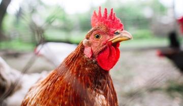 2 poules pondeuses offertes pour réduires ses déchets - habitants de L'Isle d'Abeau (38)