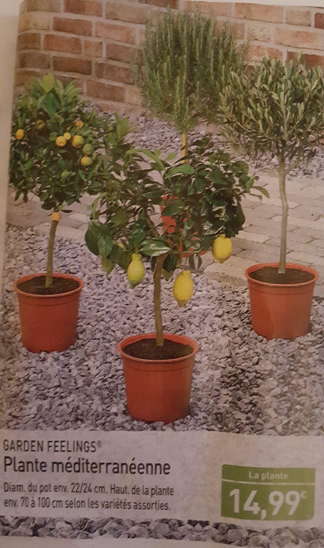 Plante méditerranéenne Garden Feelings - différentes variétés, 70 à 100 cm
